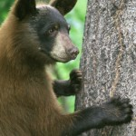American Black Bear Standing by Tree on Mallory on Travel, adventure, photography