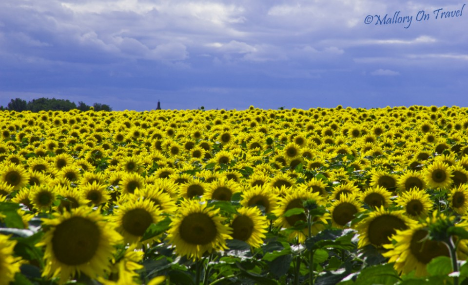 Sunflower field near Toulouse in France on Mallory on Travel, adventure, adventure travel, photography