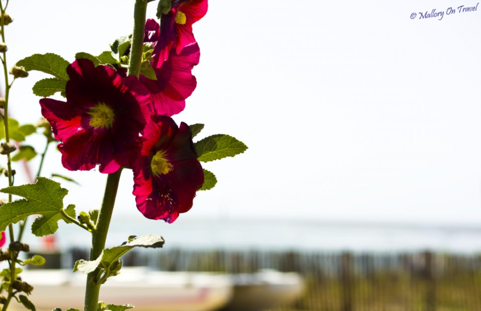 Hollyhocks on the beach on I'lè de Ré in the French Charente-Maritime region on Mallory on Travel, adventure, adventure travel, photography
