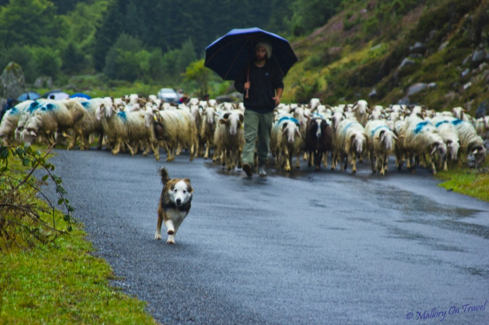 Agritourism; Sheep dog trials in transhumance in the French Pyrenees on Mallory on Travel, adventure, adventure travel, photography