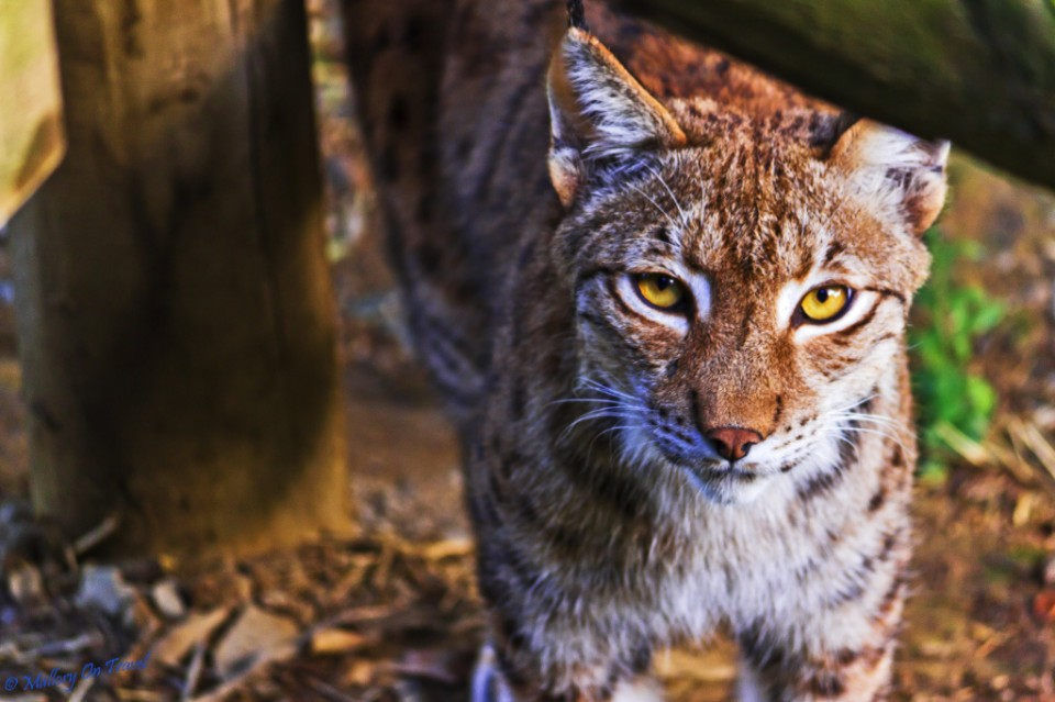 Lynx at the Parc des Animalier Pyrenees, Argelès-Gazost in France on Mallory on Travel, adventure, adventure travel, photography