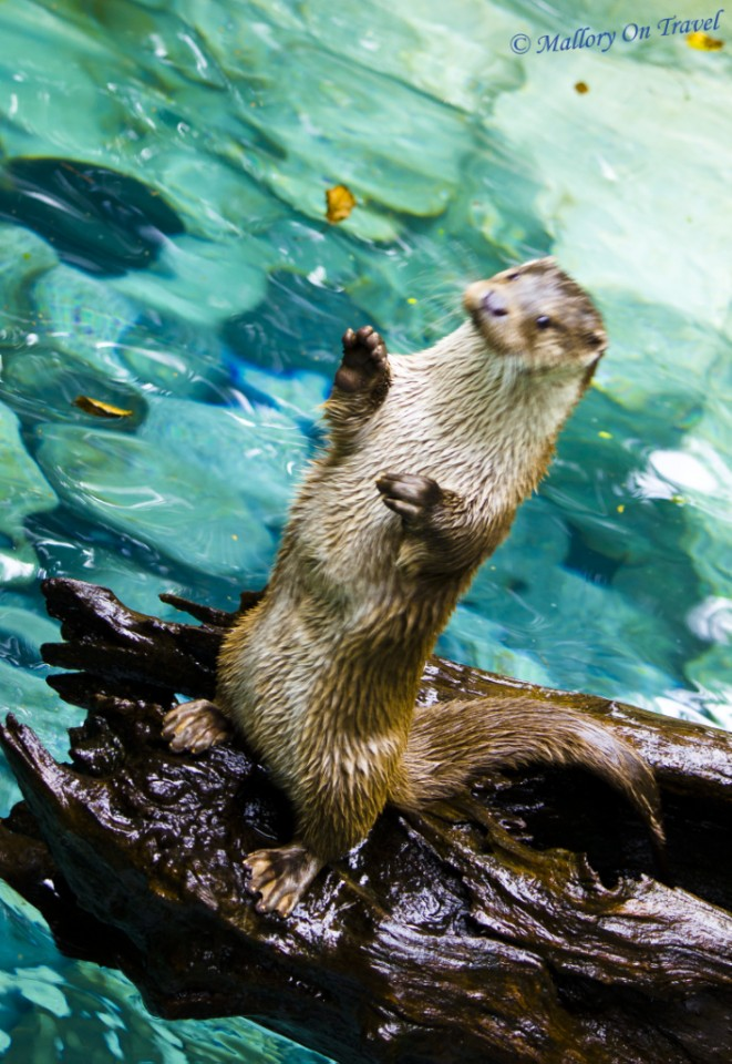 Otter feeding at the Parc des Animalier Pyrenees, Argelès-Gazost in France on Mallory on Travel, adventure, adventure travel, photography