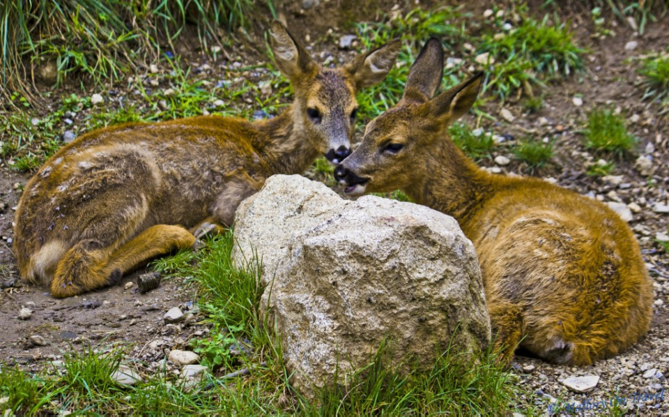 Deer family Wolfpack at the Parc des Animalier Pyrenees, Argelès-Gazost in France on Mallory on Travel, adventure, adventure travel, photography