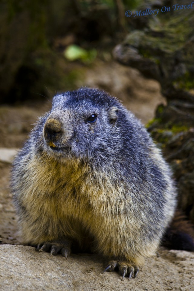 Marmot patrol at the Parc des Animalier Pyrenees, animal sanctuary in Argelès-Gazost in France on Mallory on Travel, adventure, adventure travel, photography