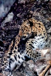 Stunning Amur Leopard on Mallory on Mallory on Travel, adventure, adventure travel, photography
