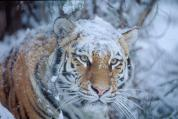 A magnificent Amur tiger on Mallory on Travel, adventure, adventure travel, photography