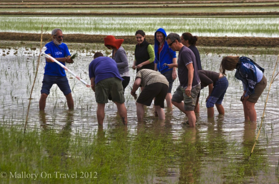 Rice picking in the paddy fields near Alfacs Bay in the Delta L'Ebre in Catalonia, Spain on Mallory on Travel adventure photography