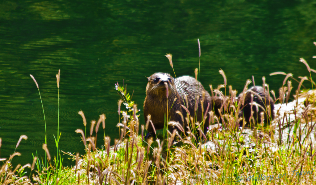 Otter family at the King Pacific Lodge in the Great Bear Rain Forest in British Columbia,Canada on Mallory on Travel adventure photography