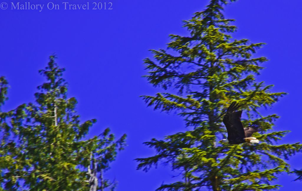 Flying bald eagle behind the King Pacific Lodge in the Great Bear Rain Forest in British Columbia,Canada on Mallory on Travel adventure photography