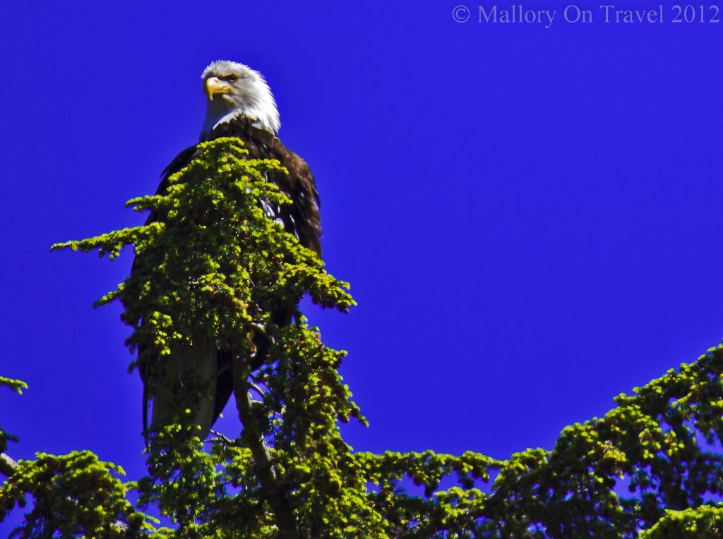 Bald eagle behind the King Pacific Lodge in the Great Bear Rain Forest in British Columbia,Canada on Mallory on Travel adventure photography