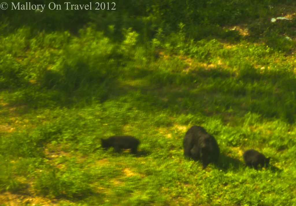 Black bear mother and cubs at Whistler in British Columbia,Canada  on Mallory on Travel adventure photography