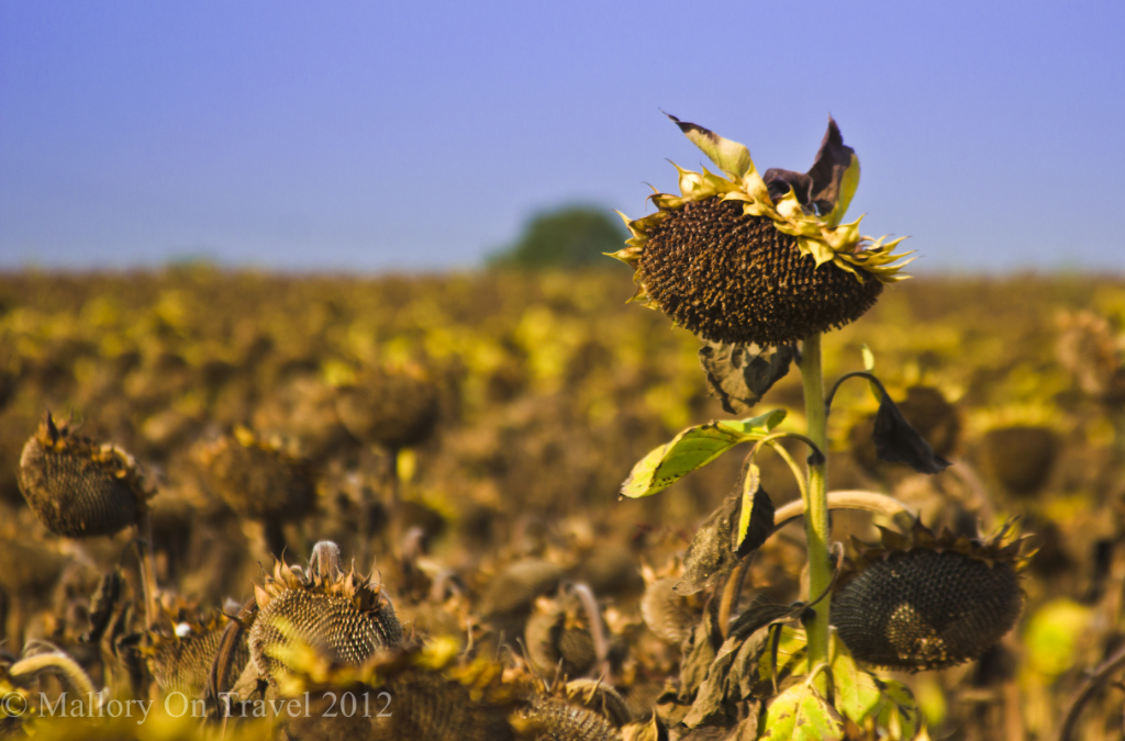Late summer sunflower in a Cognac Country field in the Charente-Maritime region of France  on Mallory on Travel adventure photography