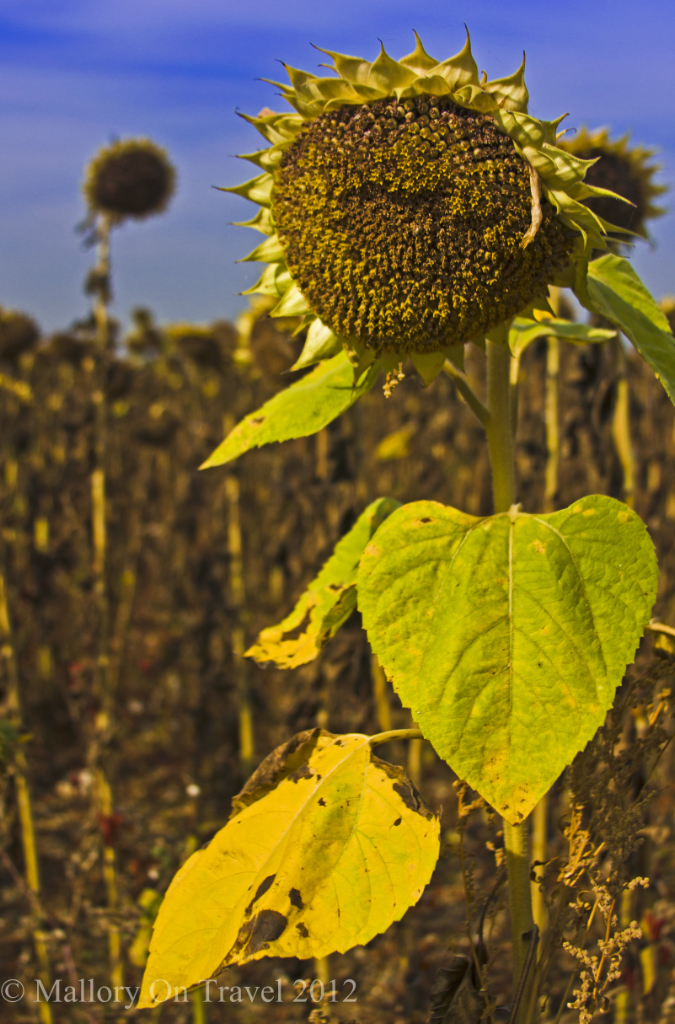 Late summer sunflower field in a Cognac Country field in the French Charente-Maritime on Mallory on Travel adventure photography