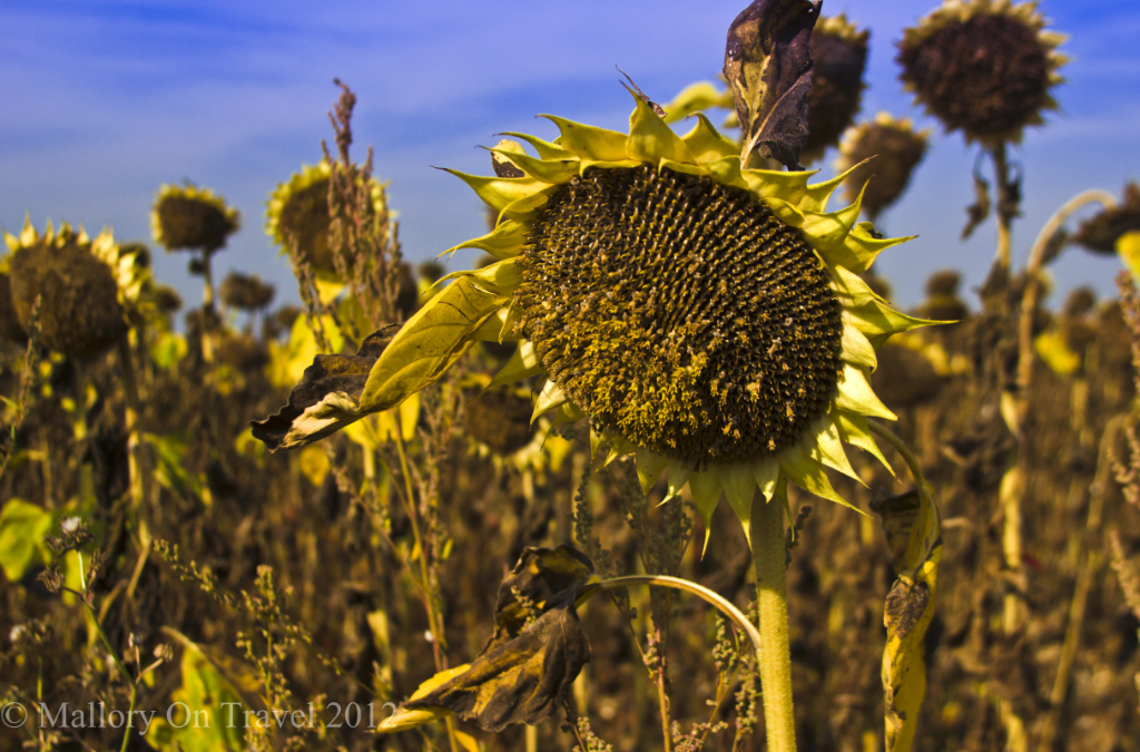 Late summer sunflower field in a Cognac Country field in the French Poitou-Charentes on Mallory on Travel adventure photography