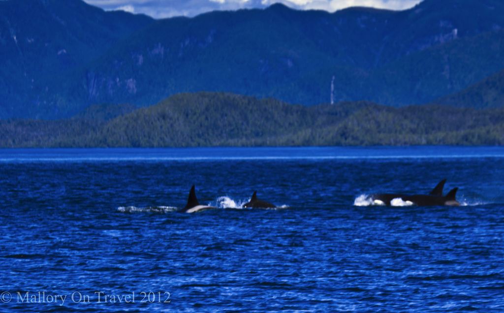 Pod of orca in the Great Bear Rainforest, British Columbia Canada on Mallory on Travel adventure photography Iain Mallory-300-13