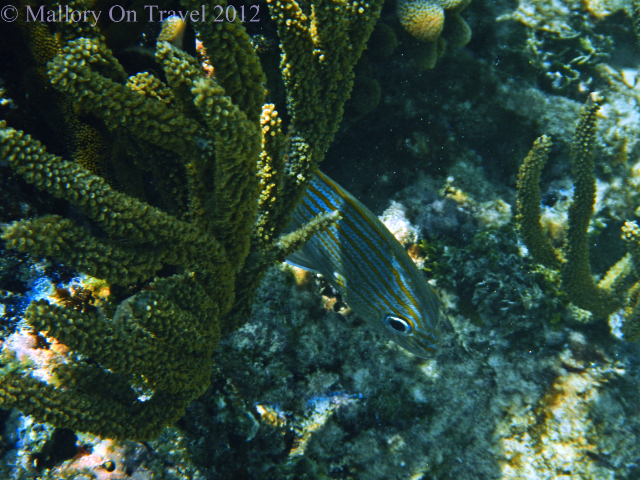 Hiding fish on the Great Mayan or Mesoamerican Reef off the Riviera Maya, Mexico on Mallory on Travel adventure photography Iain Mallory-300-5