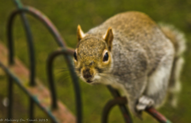 Close-up portrait of a cheeky squirrel in St James's Park off Pall mall in London, United Kingdom on Mallory on Travel, adventure, adventure travel, photography