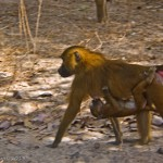 Hanging with Baboons; Gang Culture in The Gambia
