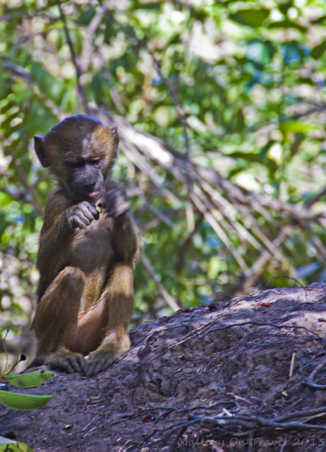 Baby baboon at Mandina Lodges in the Makasutu Forest in The Gambia on Mallory on Travel, adventure, adventure travel, photography Iain Mallory-300-5