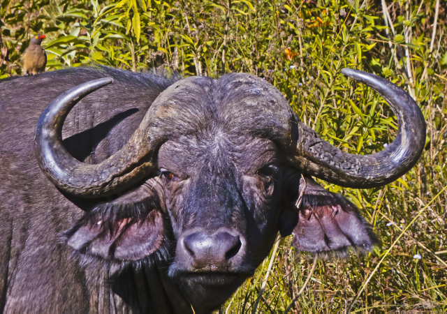 Cape buffalo one of the Big Five in the South African bush at Karkloof Spa in the KwaZulu-Natal on Mallory on Travel, adventure, adventure travel, photography Iain Mallory-300-58_cape_buffalo