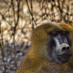 Baboons on Crimestoppers in The Gambia