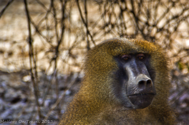 Alpha male baboon at Mandina Lodges in the Makasutu Forest in The Gambia on Mallory on Travel, adventure, adventure travel, photography Iain Mallory-300-7