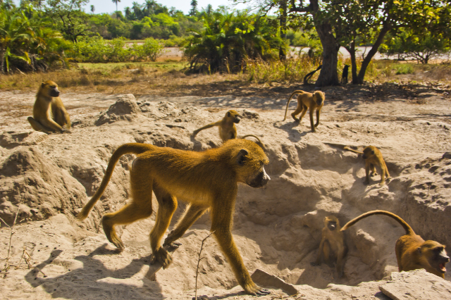 Baboon troop at Mandina Lodges in the Makasutu Forest in The Gambia on Mallory on Travel, adventure, adventure travel, photography Iain Mallory-300-9