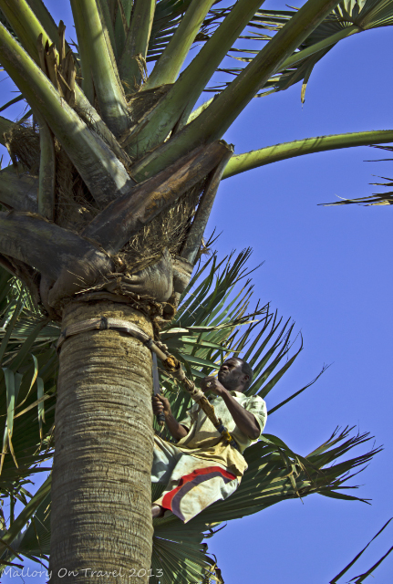 Photographs of Africa; A tree climber trims a palm tree in the west African country of The Gambia on Mallory on Travel, adventure, adventure travel, photography Iain Mallory-300-42 tree_climber