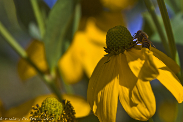 A bee at Kingsbrae Gardens in St Andrews, the Bay of Fundy, New Brunswick in Canada  on Mallory on Travel adventure, adventure travel, photography Iain Mallory-300-13_honey_bee