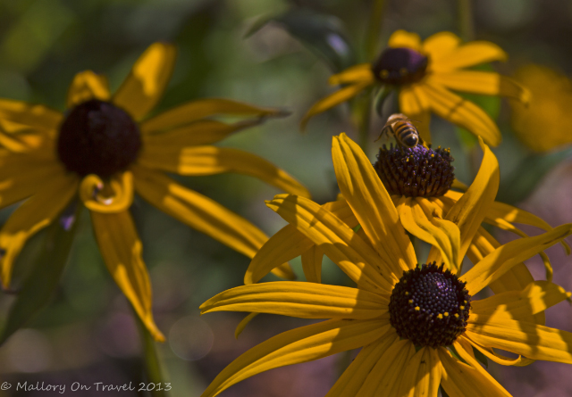 A bee at Kingsbrae Gardens in St Andrews, the Bay of Fundy, New Brunswick in Canada on Mallory on Travel adventure, adventure travel, photography Iain Mallory-300-2_honey_bee