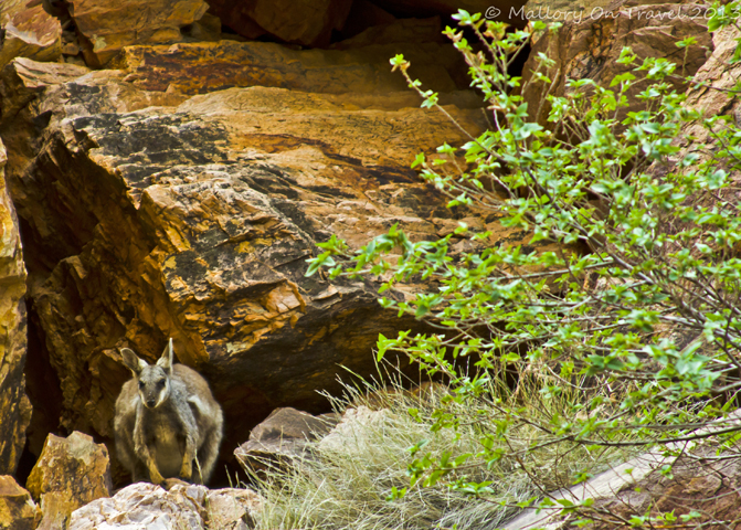 A rock wallaby in the Northern Territory, Australia on Mallory on Travel adventure, adventure travel, photography Iain Mallory-300-20_rock_wallaby