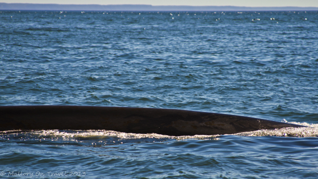 Fin whale on a whale watching expedition in St Andrews, the Bay of Fundy, New Brunswick in Canada on Mallory on Travel adventure, adventure travel, photography Iain Mallory-300-3_fin_whale