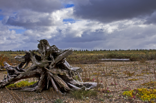 Dead tree trunk in Manitoba, Canada on Mallory on Travel adventure, adventure travel, photography Iain Mallory-300-72_hudson_bay