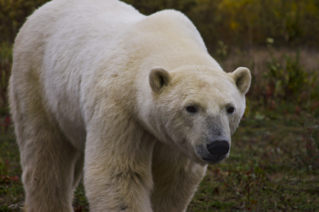 Polar bear at Nanuk Polar Bear Lodge on Hudson Bay in Manitoba, Canada on Mallory on Travel adventure, adventure travel, photography Iain Mallory-300-74_polar_bear