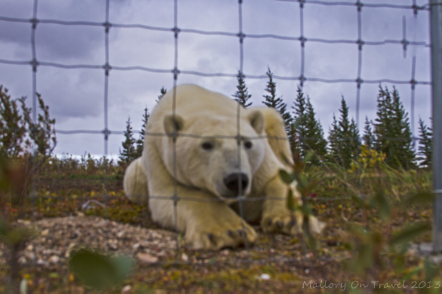 Polar bear at Nanuk Polar Bear Lodge on Hudson Bay in Manitoba, Canada on Mallory on Travel adventure, adventure travel, photography Iain Mallory-300-75_polar_bear
