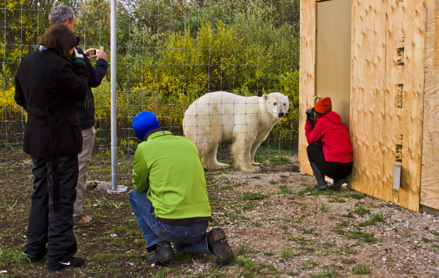 Photographers and a polar bear at Nanuk Polar Bear Lodge in Manitoba, Canada on Mallory on Travel adventure, adventure travel, photography Iain Mallory-300-76_polar_bear