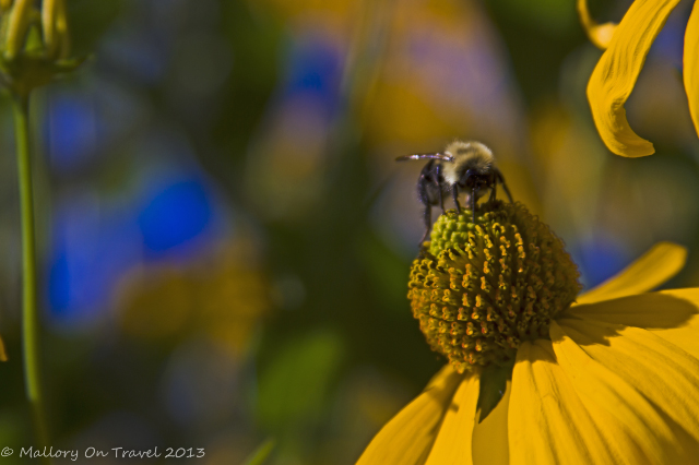 A bee at Kingsbrae Gardens in St Andrews, the Bay of Fundy, New Brunswick in Canada  on Mallory on Travel adventure, adventure travel, photography Iain Mallory-300_honey_bee