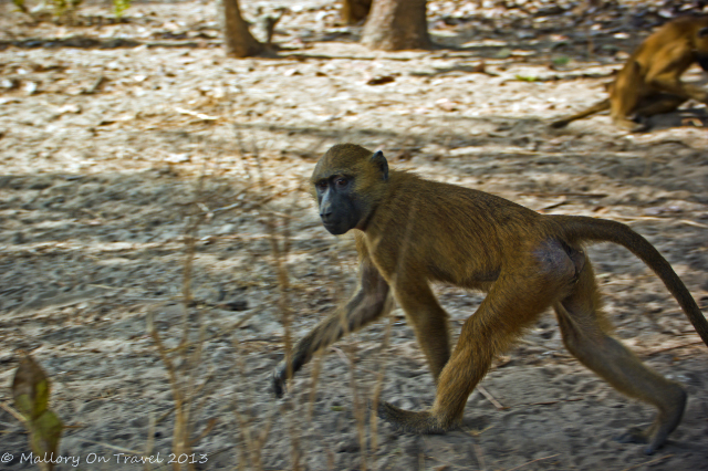 Wildlife photography; A baboon foraging for food in The Gambia, west Africa on Mallory on Travel adventure, adventure travel, photography Iain Mallory-300-10_baboon