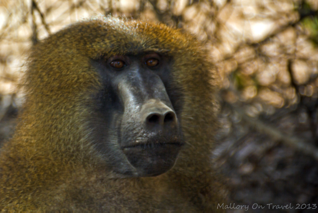 Wildlife photography; An alpha male baboon foraging for food in The Gambia, west Africa on Mallory on Travel adventure, adventure travel, photography Iain Mallory-300-14_alpha_baboon