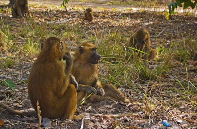 Wildlife photography; A troop of baboons in The Gambia, west Africa on Mallory on Travel adventure, adventure travel, photography Iain Mallory-300-17_baboon_troop