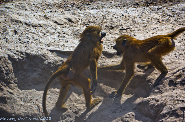 Wildlife photography; A troop of baboons in The Gambia, west Africa on Mallory on Travel adventure, adventure travel, photography Iain Mallory-300-31-1_baboons