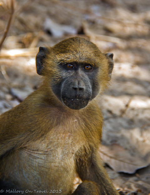 Wildlife photography; A curious baboon in The Gambia, west Africa on Mallory on Travel adventure, adventure travel, photography Iain Mallory-300-4_baboon