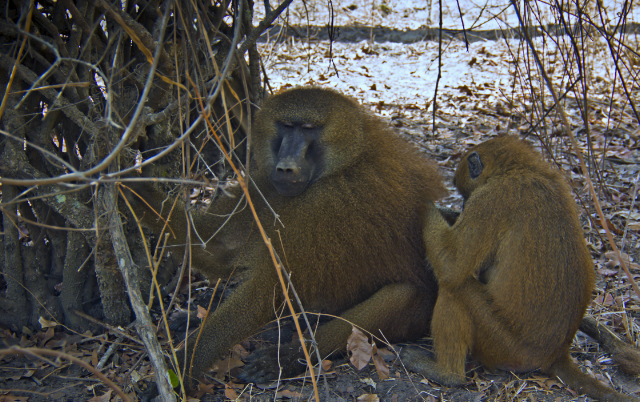 Wildlife photography; The alpha male baboon being groomed in The Gambia, west Africa on Mallory on Travel adventure, adventure travel, photography