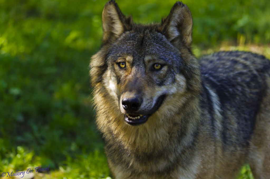 Captive wolf in a Pyrenean Animal Sanctuary in France on Mallory on Travel adventure, adventure travel, photography Iain_Mallory_026755_pyrenean_wolf