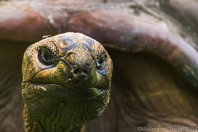 One of the St Helena giant tortoise at Plantation House on Mallory on Travel adventure, adventure travel, photography Iain Mallory-300-34 giant_tortoise