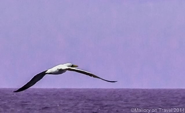 Masked booby glides over the South Atlantic near St Helena on Mallory on Travel adventure, adventure travel, photography Iain Mallory-106 masked_booby