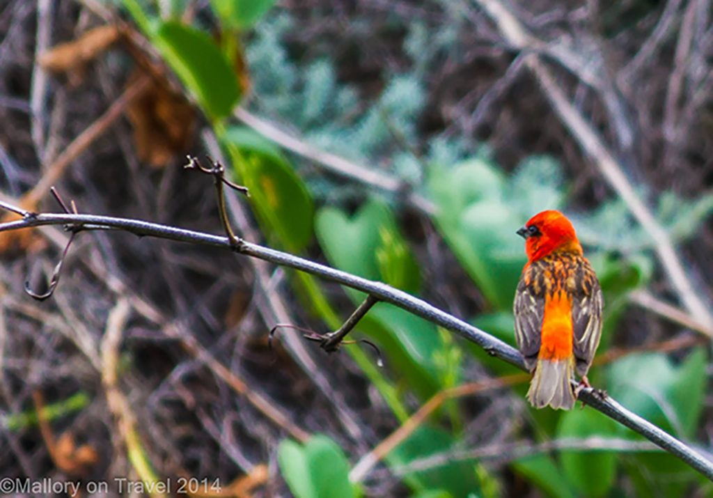Madagascar or Red Fody on the South Atlantic island of St Helena on Mallory on Travel adventure, adventure travel, photography Iain Mallory-108 red_fody