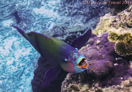 Parrotfish, Lady Elliot Island in the Great Barrier Reef, Queensland, Australia on Mallory on Travel adventure, adventure travel, photography Iain Mallory-300-12 parrotfish