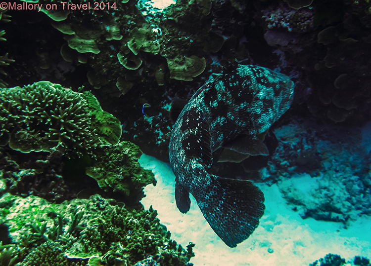 Grouper, Lady Elliot Island in the Great Barrier Reef, Queensland, Australia on Mallory on Travel adventure, adventure travel, photography Iain Mallory-300-14 grouper