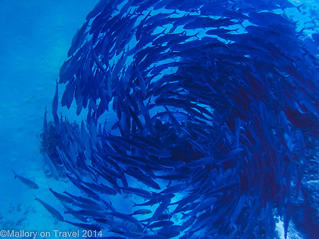 Shoaling and circling fish Lady Elliot Island in the Great Barrier Reef, Queensland, Australia on Mallory on Travel adventure, adventure travel, photography Iain Mallory-300-15 balling_fish